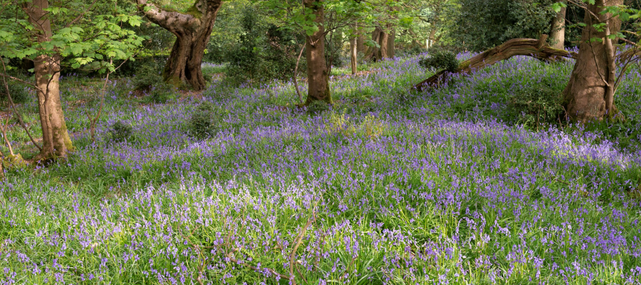 what is ancient woodland