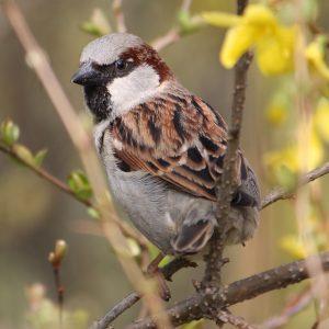 sparrow habitat